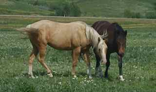 Selene and Josie- quarter horse fillies