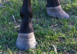 Hoof Abscess and Foundered Hoof