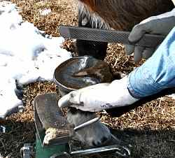 Horse Hoof Care: Natural hoof trimming and putting on a mustang roll are important for strong healthy horse hooves